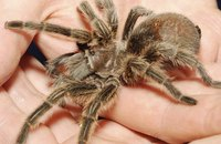 Although frightening, most tarantulas are actually quite harmless.
