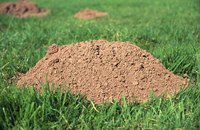 Kill your mole problem using calcium carbide.
