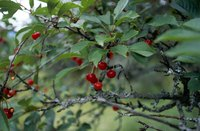 Hardy fruit trees such as cherries thrive in cold areas of the country.