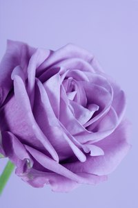 """Sterling Silver"" was the first rose cultivated with silvery purple flowers"