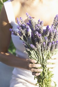 Lavender's fragrant essential oils are concentrated in the flowers and stalk.