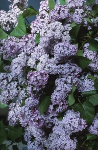 Healthy lilac bushes have large blooms that come in blue, purple and pink.
