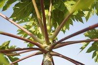 A view of the underside of a castor bean plant