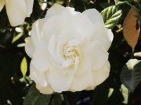 Gardenia blooms measure 3 to 4 inches in diameter.