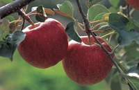 The apple trees Johnny Appleseed planted bore fruit typically used to make cider.