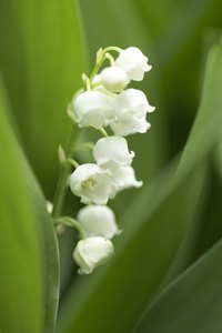 Lily of the valley is beautiful but poisonous.