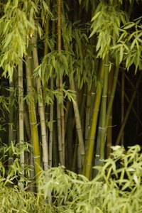 Bamboo canes grow upright from the rhizome.