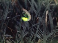 A firefly shining in the grass