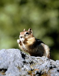 Chipmunk activity can damage structures and foundations, but they do not eat through them.
