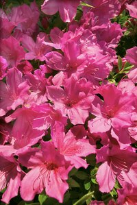 Healthy azaleas are covered with blooms each spring.
