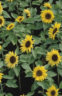 Sunflowers and other plants can attract beneficial insects that will kill termites.