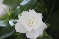 Water a gardenia frequently after pruning heavily to encourage new growth.