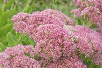 Japanese spirea grows in a fairly compact shape, but looks best with hard pruning to promote new growth.