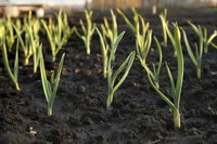 Garlic grows 12 to 18 inches tall and 9 to 12 inches wide.