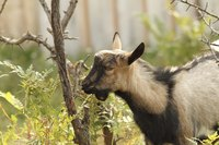 A goat eating a shrub in the yard.