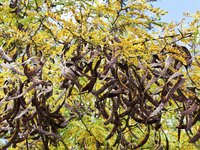 Acacias produce distinctive seed pods that bang together and make a pleasant sound in the breeze.