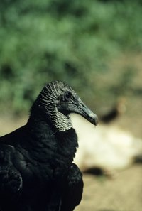 Black vultures in the South and Southwest may roost near homes.