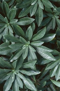 Laurel shrubs are acid-loving plants.