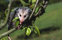 Opossums are typically not at all aggressive and cause very little damage.
