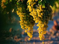 Insect- or bird-damaged grapes have a high risk of gray mold infection.