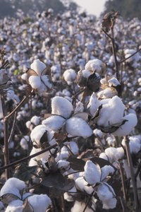Cotton is king in Texas.
