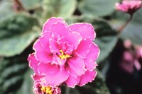 African violet blooms may actually be pink.