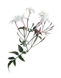 Jasmines have five white leaves and long, spindly stems.