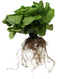 Plant roots grow well in aeroponic systems.