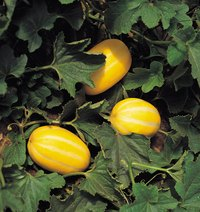 Spaghetti squashes are easy to grow and store at home.