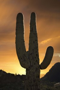 Saguaro cactus can turn black.