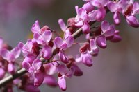 A close-up of pink redbud blossoms.