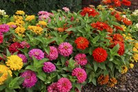 Zinnias come in a wide range of sizes and bloom colors.