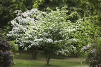 A flowering Korean dogwood growing in the yard in the spring.