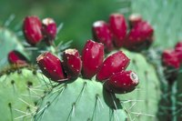 Prickly pears are members of the tribe Opunitieae.