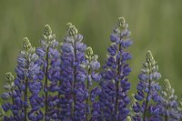 Bush lupine offers yellow or blue flowers.
