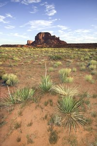 Yucca thrives in hot, dry climates.