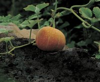 There are several reasons your pumpkins might fall off the vine before they mature.
