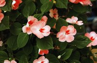 Impatiens offer hot colors for shade.