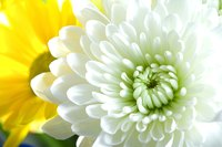 Contrasting chrysanthemum colors and blooms create vibrant displays.
