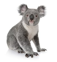 Australia's koala bear is cute and cuddly.