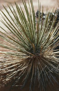 Yucca plants in poorly-drained soils are susceptible to rot.
