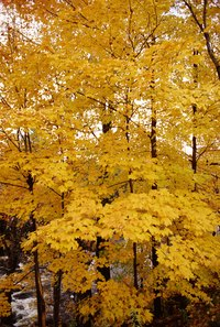 Maple trees provide a straight-grained and durable wood.