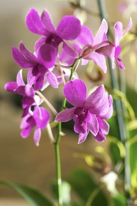 Orchids often produce aerial roots that flow out of the plant's container.