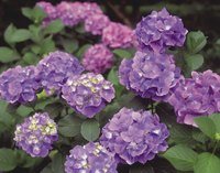 Hydrangeas are available in a wide range of cultivars.