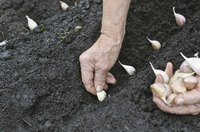 A gardener plants a row of garlic.
