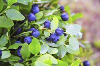 The first year after transplant, bushes may produce fewer berries.