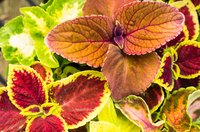 Coleus plants also are called flame nettles or painted nettles.