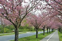 Kwanzan cherry trees lining the sides of a paved bike trail.