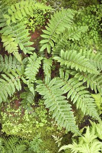 Ferns are leafy green plants.