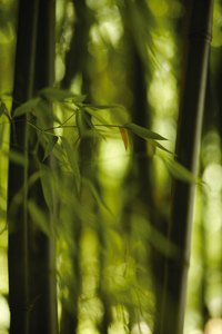 Bisset's bamboo's leaves are dark green and the culms olive-green.